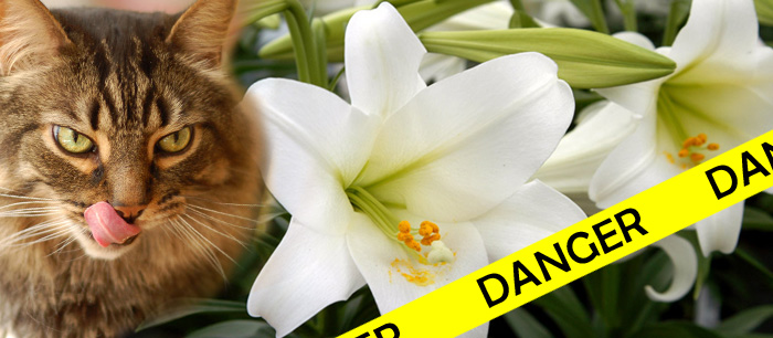 Watch out for lilies! </br>All parts of the plant are deadly to cats!